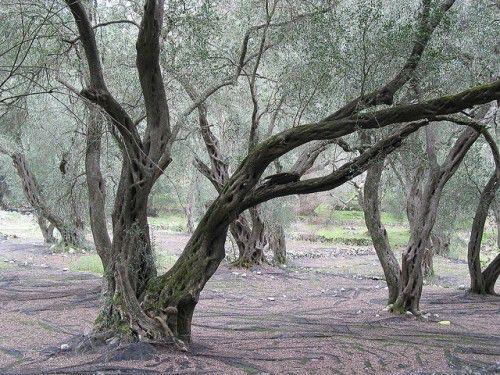 olive treese