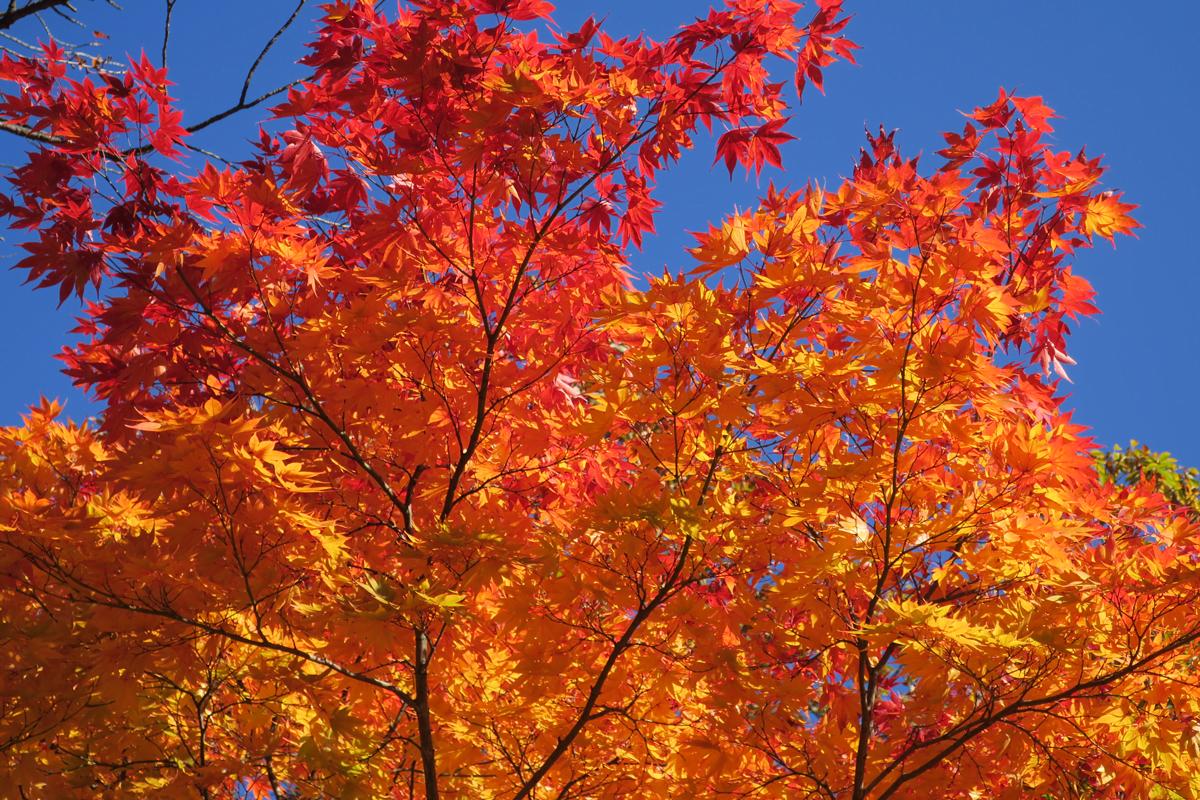 Осенние клены в Корее