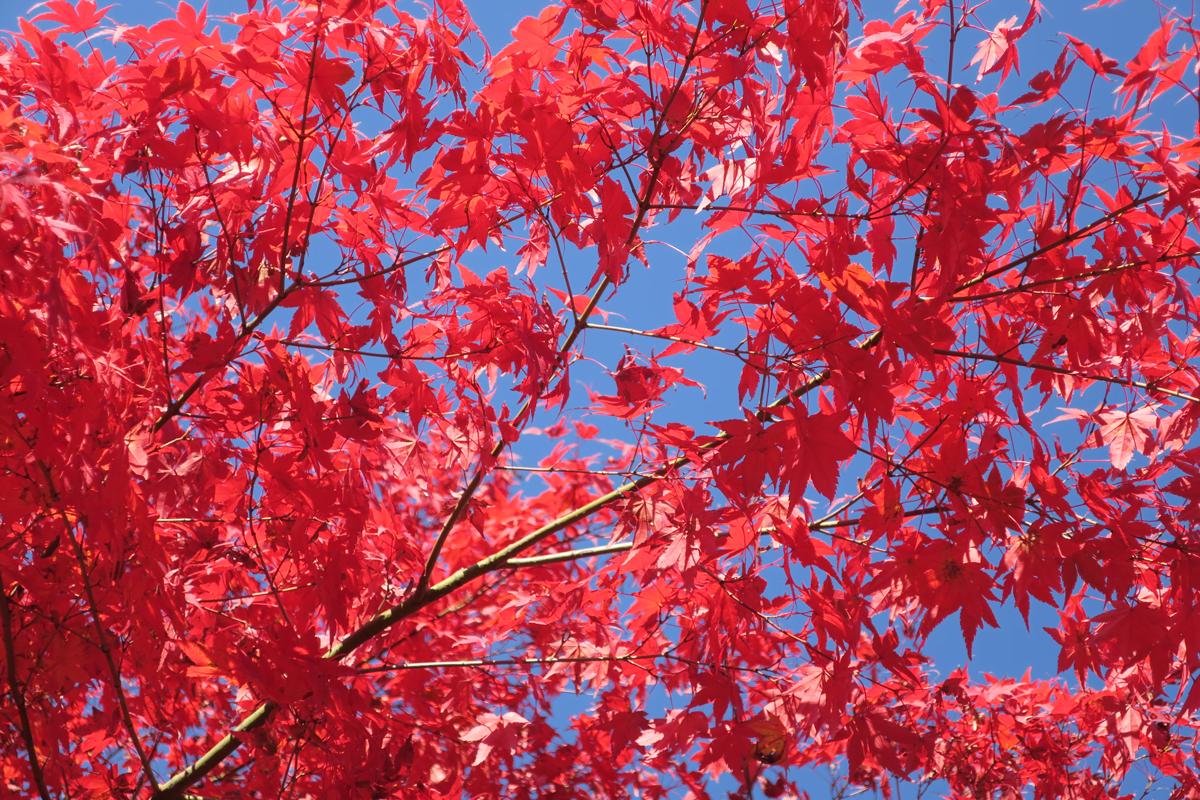 Красные клены в Корее