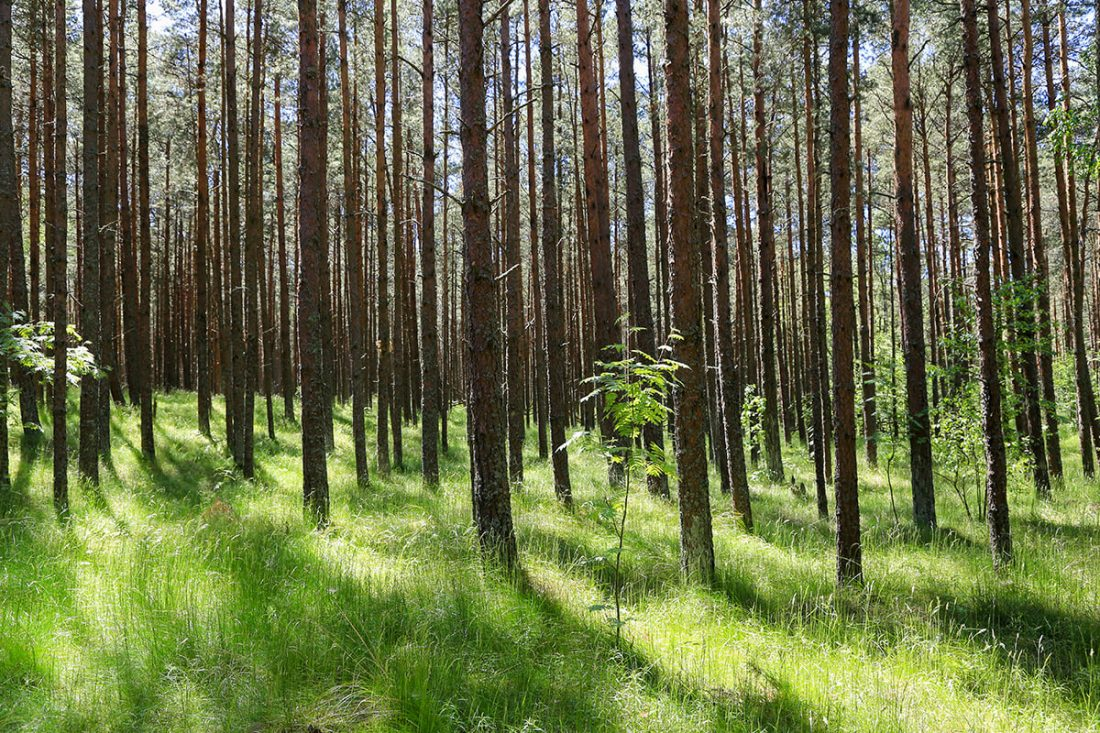 Куршская коса - деревья